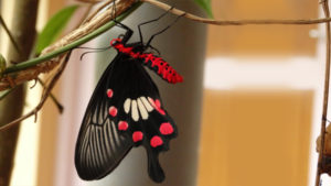 'Crimson Rose'- Red-bodied Swallowtail Butterfly (Pachliopta hector L.) at MSSBG
