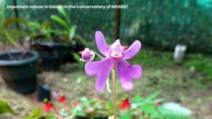 Impatiens minae: Balsam Blossom' at MSSBG!