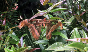 Attacus atlas: Spotted the Largest Moth in the World at MSSBG