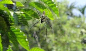 Giant Wood Spider: a striking weaver at MSSBG