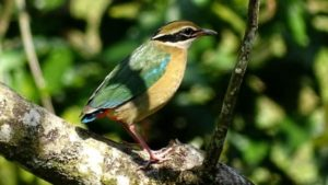 Indian Pitta: A new winter visitor at MSSBG!
