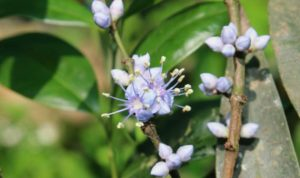 Lavender Bloom: A rare plant and a recent addition to the Indian flora at MSSBG!
