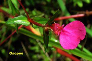 Impatiens chinensis L. (Balsaminaceae)