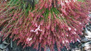 Baccaurea courtallensis (Wight) Muell.-Arg.
